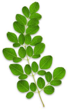 Drumstick (Moringa Oleifera Vulgare)